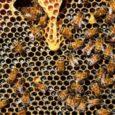 La Eurocámara aprobó esta semana una resolución que remarca la urgencia de disminuir su uso e incrementar los fondos para investigación BRUSELAS/SANTANDER, 6 Cantabria cuenta con 377 explotaciones apícolas, que […]