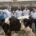 TORRELAVEGA, 11 El Mercado Nacional de Ganados de Torrelavega ha retomado este martes su actividad ganadera con «completa normalidad» y celebrará también mañana miércoles la feria semanal, después de la […]